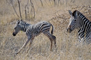 A newborn zebra foal seen with its mother in the Kruger National park in South Africa