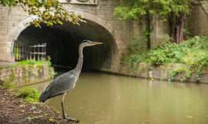 A grey heron hunting at Kennet and Avon canal in Bath, Somerset