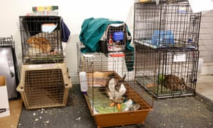 Rabbits wait in cages.
