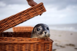A seal looks out of its transport basket at the eastern tip of the island of Juist, Germany.