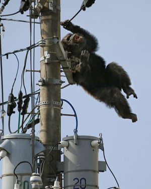 Chacha, the male chimp, falls off an electric pole, after being hit by a sedative arrow in Sendai, northern Japan.
