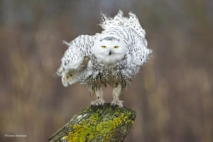 Shaking off by Connor Stefanison, Canada'Approximately every five years an eruption of snowy owls makes its way down from the Arctic, where they breed, to the Pacific north-west of North America, and congregates in areas like Delta, British Columbia. Connor captured this owl head-on as it was shaking off its feathers on a rainy winter day.'