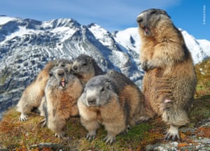 Family Get-together by Michael Schober (Austria). Marmots photographed at close range