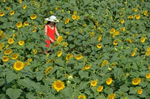 Hebei, China A visitor stands in a sunflower field in Rengezhuang Township in Tangshan