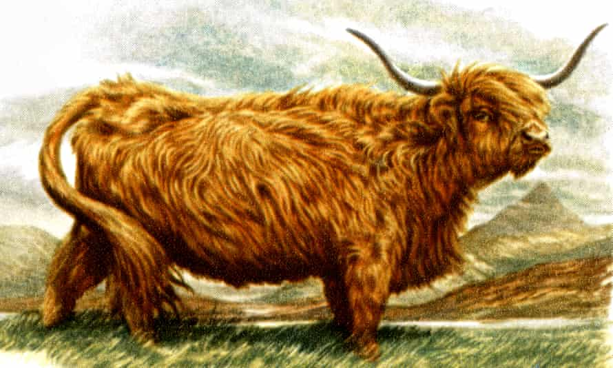 """""""Among the most common google search terms for highland cows is simply, 'fluffy cows'."""""""