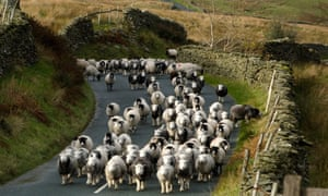 Sheep in Lake District.