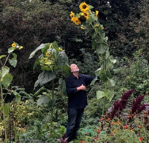 Allan Jenkins on his plot, standing and looking up at a very tall sunflower