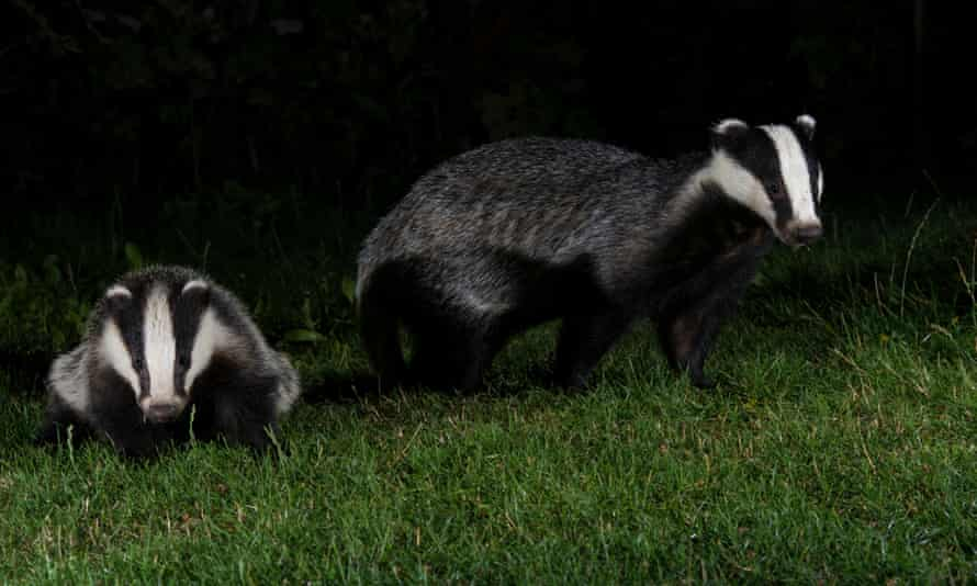 Badger culls were carried out to reduce tuberculosis infections in cattle.