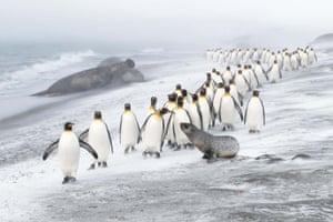 Birds category winner: Penguin defence. A column of king penguins in St Andrews Bay