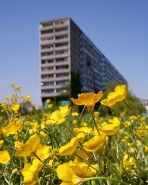 urban buttercups