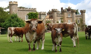 Longhorn cattle at Knepp in West Sussex.