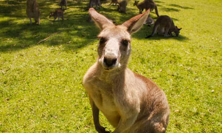 Kangaroos in New South Wales, Australia