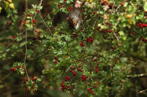 A squirrel forages for food among the foliage in Phoenix Park, Dublin