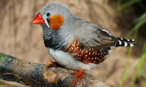 The technology can be applied to the zebra finch to recognise individual birds.