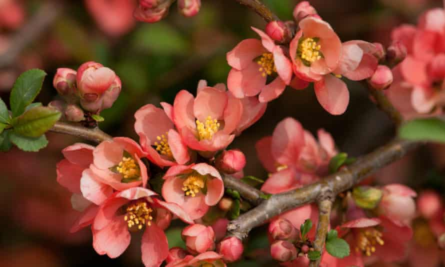 Close up of a flowering branch of the Japanese dwarf flowering quince