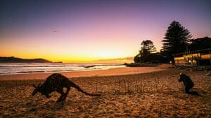 The wallaby at Avoca beach.