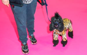 Poodle in tiger suit at Crufts dog show 2019