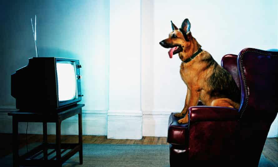 German Shepherd dog sitting on chair watching television