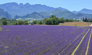 Lavender fields in the Drôme department, south-east France.