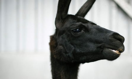 International researchers owe their findings to a llama named Winter, a four-year-old resident of Belgium.