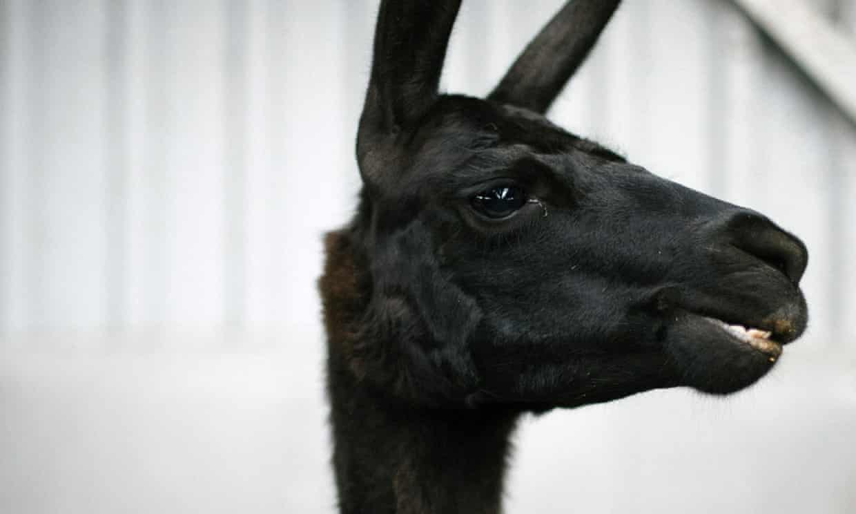 International researchers owe their findings to a llama named Winter, a four-year-old resident of Belgium. Photograph: VIB-UGent Center for Medical Bio/AFP via Getty Images