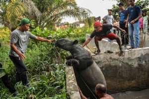 Pekanbaru, MalaysiaWildlife agency rangers rescue a Malayan tapir, an endangered species on the International Union for Conservation of Nature (IUCN) Red List, after it fell into a villager's fish pond in Riau