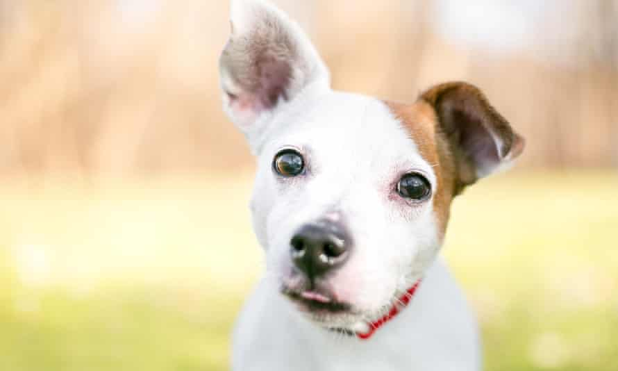 A small white and brown Jack Russell Terrier mixed breed dog with one upright ear and one floppy ear<br>PYD4H0 A small white and brown Jack Russell Terrier mixed breed dog with one upright ear and one floppy ear