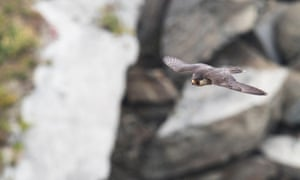 A peregrine falcon (Falco peregrinus) glides among the Pembrokeshire cliffs searching for prey
