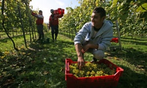 Romanian workers pick grapes in West Sussex in 2008.
