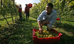 Migrant Romanian workers picking grapes in West Sussex