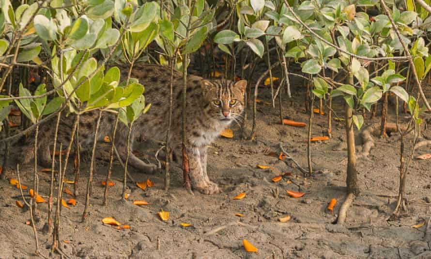 A young male fishing cat stops while out hunting, in Sundarban National Park, West Bengal.