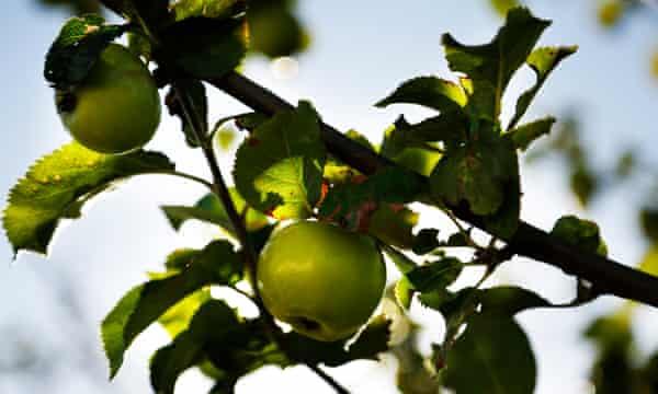 A 'Coul Blush' apple tree, Scotland.