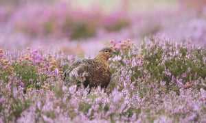 Grouse and heather