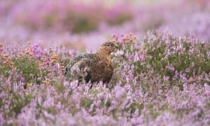 A young red grouse among heather on the Yorkshire Moors