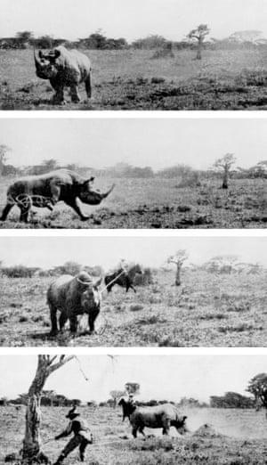 'Lassoing a rhinoceros'