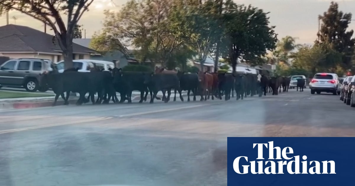 Herd of cattle runs through suburban streets after escaping LA slaughterhouse – video