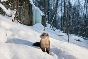 A marten forages for food in Ontario, Canada.