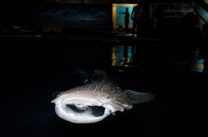 The whale sharks were destined for ocean theme parks in China according to the Wildlife Conservation Society. The Indonesian marine police arrested a major supplier of large marine megafauna to the international aquarium, who was keeping the sharks in sea pens off the Ambon Island.