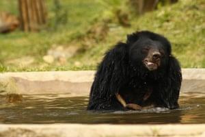 a moon bear enjoys a dip at its Cat Tien bear sanctuary, Vietnam