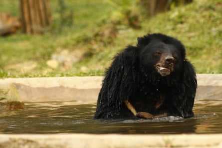 A bear enjoys a dip at a rescue centre in Vietnam.