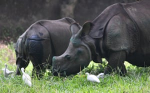 Rhinoceros calves graze in a field after being relocated from  a rehabilitation centre in Kaziranga to the Assam state zoo in Guwahati