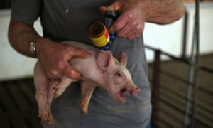 Cheap meat comes at high cost: a struggling piglet a 'booster shot' of antibiotic.