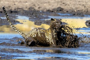 A leopard dives headfirst into a muddy pool in pursuit of fish dinner in Botswana's Chobe national park