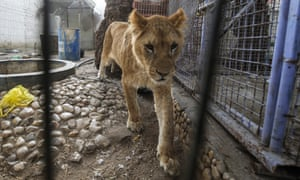 An undernourished lioness has been moved from a zoo in southern Gaza to Jordan.