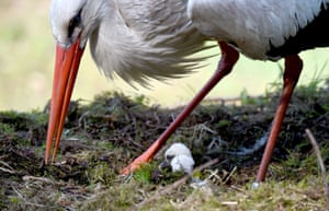A stork cares for its chicks in their nest at the Eekholt wildlife in northern Germany