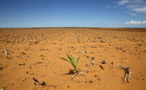 Solitary maize plant grows in parched landscape in Hoopstad, a maize-producing district in South Africa, during a fierce drought in 2016