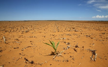 A maize plant in a field in Hoopstad. Mid-summer rains may be too little, too late for farmers as the South African countryside bakes under the worst drought in more than a century.