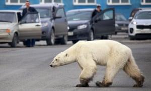 Um urso polar entra na cidade industrial russa de Norilsk em 17 de junho de 2019. O estresse do habitat está levando os ursos a tentar a sorte mais perto de assentamentos humanos, ou mesmo a canibalizar sua espécie.