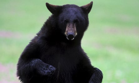 Raiding the garbage has proven fatal for nine bears in Revelstoke, British Columbia.