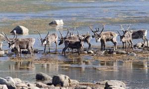 A reindeer herd in Vesteralen, Norway